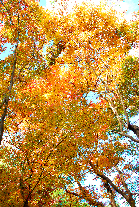 17_太陽の光を透かす紅葉が美しい