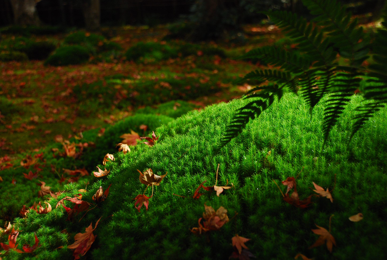 18_紅葉だけでなく、朝霧に濡れた苔の豊かな緑も人々を魅了する